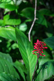 A single red Firespike flower. Stock Photography
