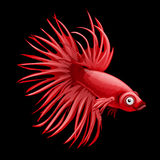 Single red fish rooster closeup, cartoon vector. On a black background Royalty Free Stock Photos
