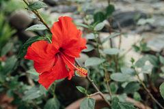 Single Red flower Against the background of green leaves. The green leaves are blurred. The photo is made in summer garden Royalty Free Stock Photo
