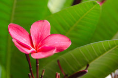 The Single Red Flower. Frangipani from a different angle. Suitable for text space or wallpaper Stock Photography