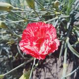 Red Petal Flower. Single red flower at the garden Royalty Free Stock Images