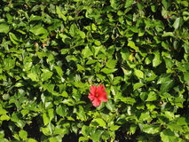 A single red flower grows from green leaves. Sunny day Royalty Free Stock Photos