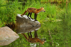 Single Red Fox and water reflection. Stock Image