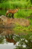 Single Red Fox and water reflection. Stock Images