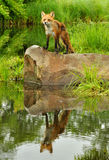Single Red Fox and water reflection. Royalty Free Stock Image