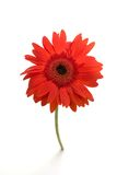 Single red gerber daisy Stock Photo