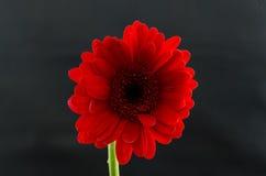 Single Red Gerber Daisy Stock Photo