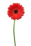 Single red gerbera. Stock Images