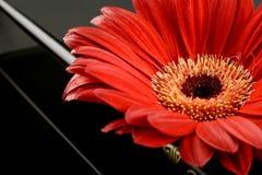 Single red gerbera Stock Photo
