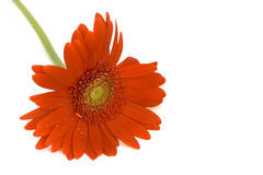 Single Red Gerbera Stock Photos