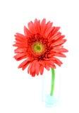 Single red gerbera flower Stock Photo
