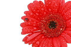 Single red gerbera flower with ladybird Royalty Free Stock Photos