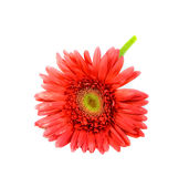 Single red gerbera flower Stock Images