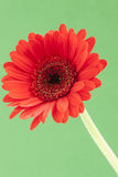 Single red Gerbera on a green background Royalty Free Stock Image
