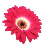 Single red gerbera Royalty Free Stock Photography