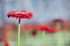Single red gerbera with other flowers in background Royalty Free Stock Images