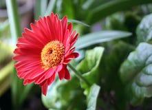 Single red herbera. Red herbera flower close up Royalty Free Stock Photos