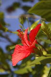 Single red hibiscus flower. A single red hibiscus flower in bloom. Other buds and leaves are present in the foreground and background Stock Images