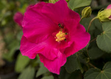 A single red hibiscus flower with a honey bee in bright sunlight Stock Images