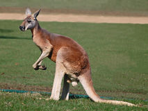 A Single Red Kangaroo Standing Tall Stock Photography