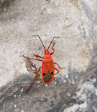 Single Red Kapok Bug climbing on rock (Probergrothius nigricorni Royalty Free Stock Photography
