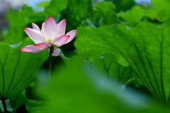 Single red lotus flower with green leaves