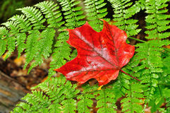 A Single Red Maple Leaf on a Fern Stock Photo