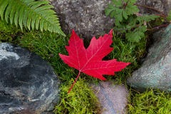 Single Red Maple Leaf in final fall stage color Stock Photography