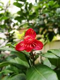 Single red mickey mouse flower. Closeup of single red mickey mouse flower blooming on nature background Royalty Free Stock Images
