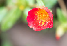 Single red moss rose flower in bloom Stock Image