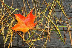 A Single Red and Orange Maple Leaf Royalty Free Stock Photos