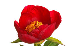 Single red peony flower on white Royalty Free Stock Photos