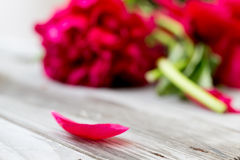 Single red petal. In front and some blossoms in red in background stock photo