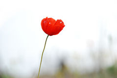 Single red Poppy Stock Image
