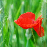 Single red poppy Stock Photography