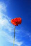 Single Red Poppy Stock Photography