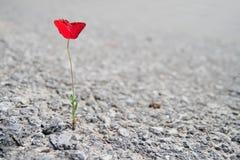 A Single red Poppy. Flower growing through asphalt stock photos