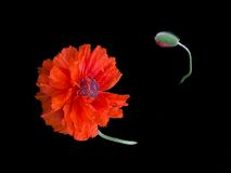 Single red poppy on black Stock Images