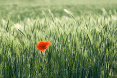 Single red poppy among cereals Royalty Free Stock Images
