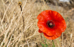 Single red poppy in a dry grass meadow Stock Image