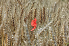 Single red poppy in the field of ripe wheat Stock Photos