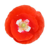 Single red poppy flower Stock Images
