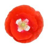 Single red poppy flower Stock Images