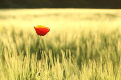 Blooming poppy backlit by the morning sun. Single Red poppy growing wild on a wheat field on a sunny spring morning. June, Poland stock photography