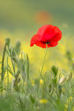 Single red poppy with insect. In cornfield Royalty Free Stock Images