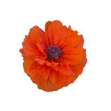 Single red poppy isolated on white Stock Photo