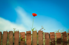 Single red poppy Stock Photos