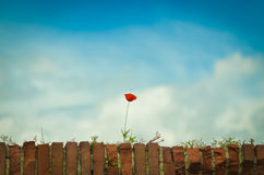 Single red poppy Stock Photo