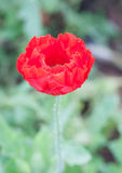 Single red poppy opium Stock Images