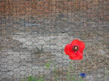 A single red poppy rises against a metal fence. stock image